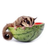 Sugar glider  enjoy eating watermelon isolated on white — Stock Photo