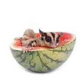 Sugar glider  enjoy eating watermelon isolated on white — Stok fotoğraf