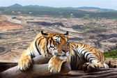 Tiger looking something on timber with the background is coal mi — Stock Photo