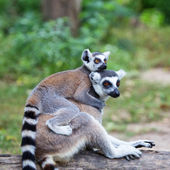 Ring-tailed lemur (lemur catta) with baby ride on one's back in — Stock Photo
