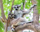 Ring-tailed lemur (lemur catta) ring-tailed lemur (lemur catta)  — Stock Photo