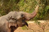 Elephant in Sri lanka — Stock Photo