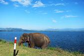 Lost elephant — Stock Photo