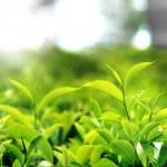 Beautiful tea leaf — Stock Photo