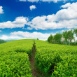 Beautiful tea estate — Stock Photo
