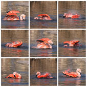 Collage of flamingo — Stock Photo