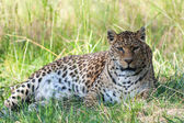 Panther — Stock Photo