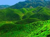 Malaisian tea plantation — Stock Photo