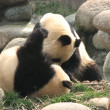 Giant Pandas — Stock Photo