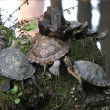 Turtles — Stock Photo #34327273