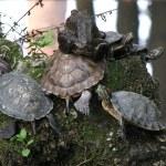 Turtles — Stock Photo #34327273