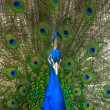 Peacock — Stock Photo #34804435