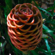 Cone-flower — Stock Photo