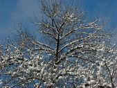 Arbre d'hiver — Photo