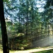Sunrays in forest — Stock Photo