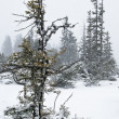 Fir tree under snow in Alps — Stockfoto