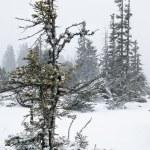 Fir tree under snow in Alps — Stock Photo