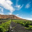 Vineyard upon black volcanic sand in Lanzarote — Stock Photo