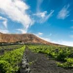 Vineyard upon black volcanic sand in Lanzarote — Stock Photo