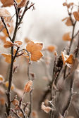 Frosty redcurrant leaves — Stock Photo