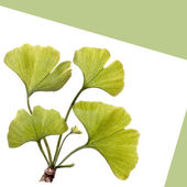 Gingko leaves isolated on white — Stock Photo