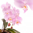 Stock Photo: Phalaenopsis orchid flowers