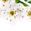 Chokeberry flowers on white background — Stock Photo
