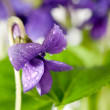 Viola odorata (Sweet Violet) — Stock Photo