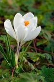 White crocus flower — Stock Photo