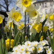 Daffodils and primulas in a park in Central London — Stock Photo