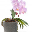Pink phalaenopsis orchid isolated on white — Stock Photo