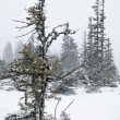 Fir tree under snow in Alps — Stok fotoğraf