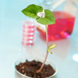 Transgenic plant in plastic dish — Stock Photo