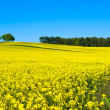 Rapeseed field with forest — Stock Photo