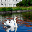 White swan with reflection — Stock Photo
