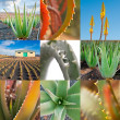 Aloe vera producton for cosmetics industry, collage — Stock Photo