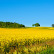 Rapeseed field in full bloom — Stock Photo
