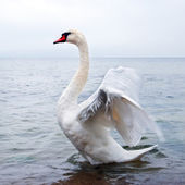 Wild swan flaps wings — Stock Photo