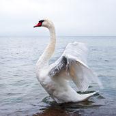 Wild swan flaps wings — Stock Photo