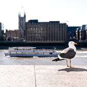 London seagull — Stock Photo