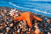 Морская звезда и раковина — Стоковое фото