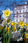Spring daffodils in european city — Stock Photo
