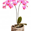 Phalaenopsis orchid on white background — Stock Photo