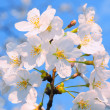 Sakura blossoms against blue sky — Stock Photo