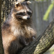Adult raccoon on a tree — Stock Photo