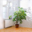 Ficus tree in empty room — Foto Stock