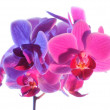 Illuminated Phalaenopsis orchid — Stock Photo