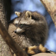 Adult raccoon — Foto de Stock