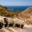 Sheep by the sea coast in Halkidiki — Stock Photo