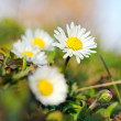 Daisy flowers in green grass — Stock Photo